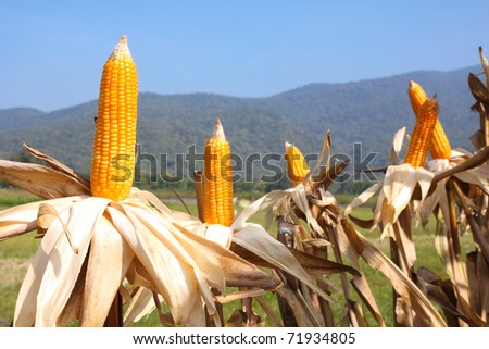 sweet corn in filed with mountain background. - stock photo