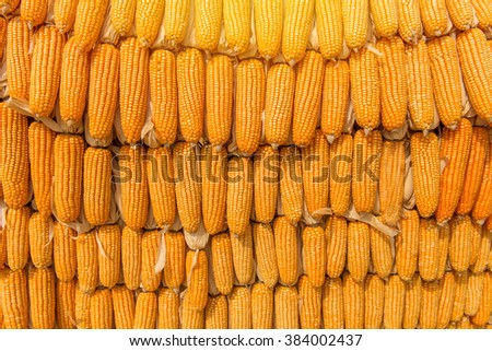 Sweet Corn of Agricultural products in farm. - stock photo