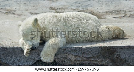 Sweet dreams of a polar bear cub. The cute and cuddly animal baby, which is going to be the most dangerous and biggest beast of the world. Careless childhood of a live plush teddy. - stock photo