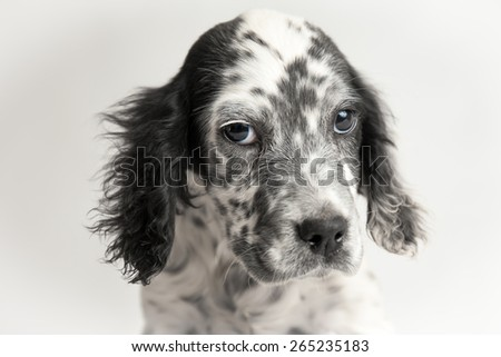 Sweet eyes of puppy setter looking to you. White background - stock photo