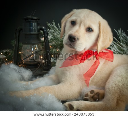Sweet Lab puppy laying in snow with a lantern and Christmas lights around him. - stock photo