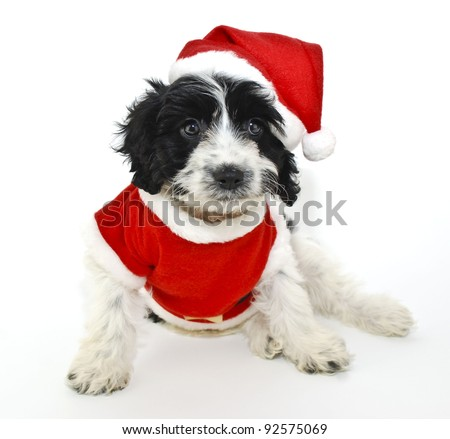 Sweet little black and white Christmas puppy wearing a Santa outfit on a white background. - stock photo