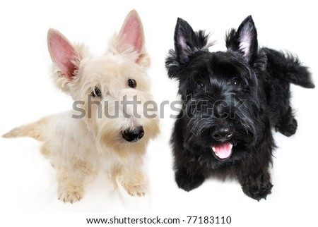 Sweet little black and white Scottish Terrier puppies - stock photo