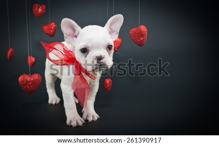 Sweet little French Bulldog puppy with hearts hanging from strings around him on a black background with copy space. - stock photo