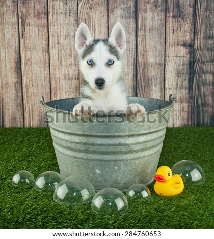 Sweet little Husky puppy sitting in a bath tub outdoors with bubbles and a rubber ducky around him. - stock photo