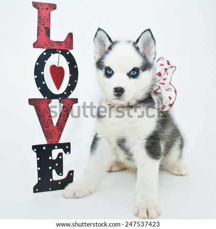 Sweet Little Husky puppy sitting on a white background with a love sign beside him. - stock photo