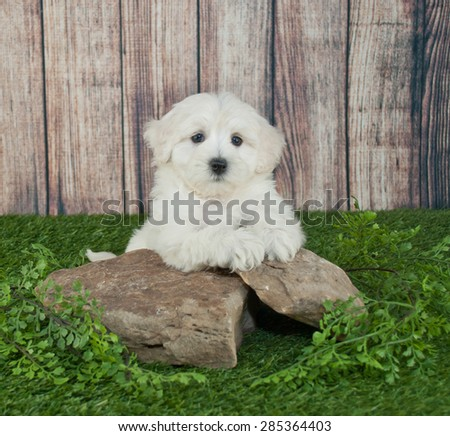 Sweet little Maltipoo puppy laying outdoors on rocks with ivy around them, with copy space. - stock photo