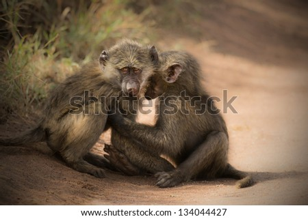 sweet little monkeys play - stock photo
