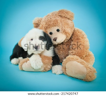 Sweet little Sheepdog puppy snuggling with his teddy bear friend on a blue background. - stock photo