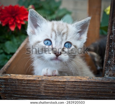 Sweet little Siamese kitten sitting in a basket with flowers around her. - stock photo