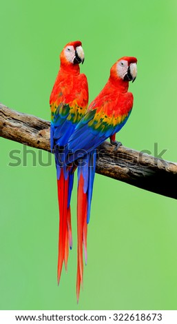 Sweet pair of Beautiful Scarlet Macaws (Ara macao) or red parrots birds perching on the branch with nice blur green background - stock photo