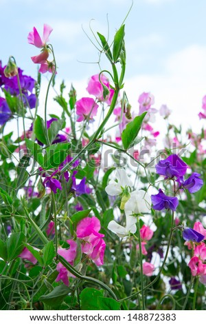Sweet pea vines against a blue sky - stock photo