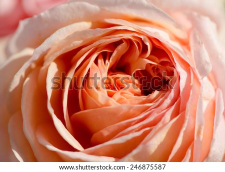 Sweet peach rose, Abraham Darby Rose, English Rose, macro. - stock photo