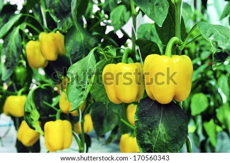 Sweet pepper in greenhouse. - stock photo