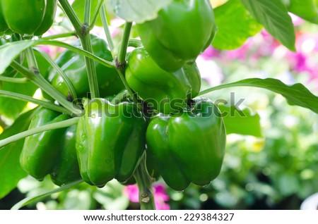 Sweet pepper plant ,paprika - stock photo