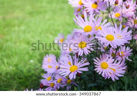 sweet pink asters flowers blooming and green grass background. pink flowers. have place for sample test - stock photo