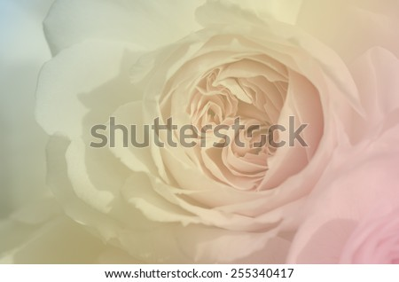 Sweet pink rose, Wedgwood rose, English rose, blur style for the background. - stock photo