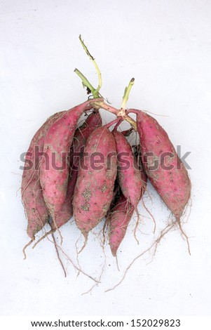 sweet potato plant harvesting with tubers in soil dirt surface - stock photo