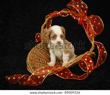 Sweet six week old puppy sitting in a basket with a red Christmas bow, on a black background. - stock photo