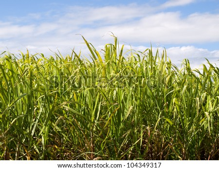 sweet sugar cane plantation in australia with close-up sugarcane and green foliage leaves and blue cloudy storm sky - stock photo
