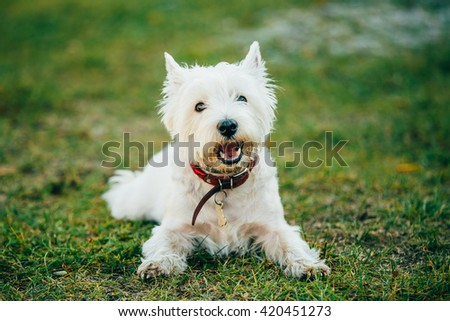Sweet West Highland White Terrier - Westie, Westy Dog Play in Grass - stock photo
