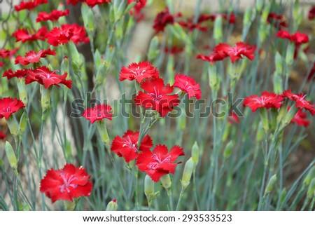 Sweet William (Dianthus barbatus) - stock photo