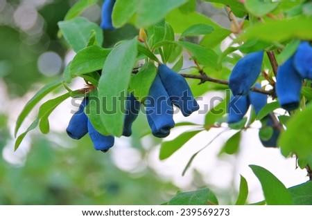 Sweetberry Honeysuckle  - stock photo