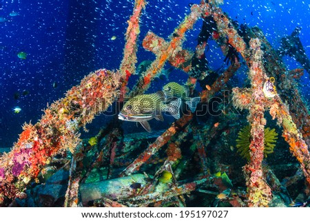 Sweetlips and thousands of small glassfish around a coral covered underwater structure - stock photo