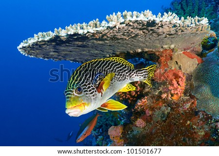 Sweetlips fish, Plectorhinchus orientalis, hiding under hard coral - stock photo