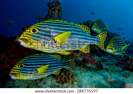 Sweetlips fish stock photos images pictures shutterstock for Sweet lips fish