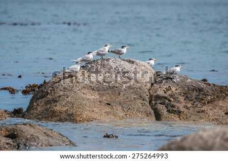 Swift Terns at the Boulders section of the Table Mountain National Park in Simons Town, the home of a land-based colony of endangered African Penguins. - stock photo