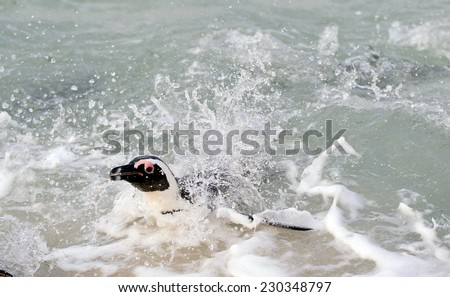 Swimming African Penguin. The African penguin (Spheniscus demersus), also known as the jackass penguin and black-footed penguin is a species of penguin, confined to southern African waters. - stock photo