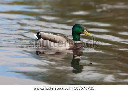 swimming duck in lake water close up - stock photo