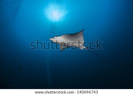 Swimming eagle ray with sunburst in maldives indian ocean - stock photo