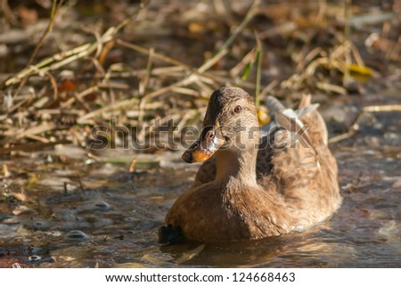 Swimming female duck - stock photo