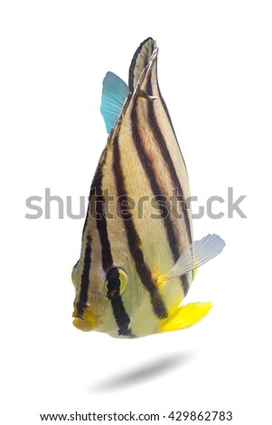swimming fish/Butterflyfish/tropical fish/eight banded fish/lovely baby fish/fish isolated on white background  - stock photo