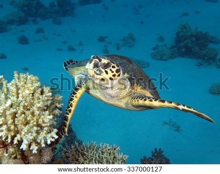 Swimming hawksbill sea turtle (Eretmochelys imbricata) - stock photo