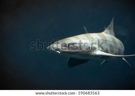 Swimming Leopard Shark - stock photo