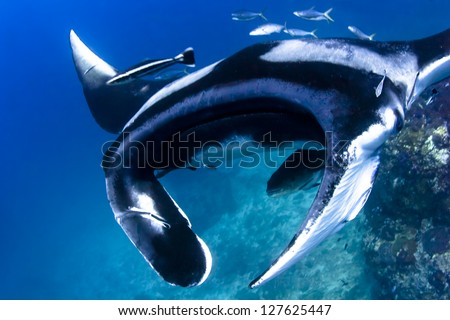 Swimming Manta Ray under water in Similan Islands, thailand - stock photo