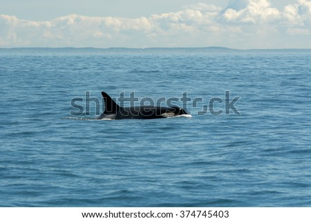 Swimming Orca Fin - stock photo