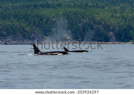 Swimming orca's near the coastline at Lund Canada. - stock photo