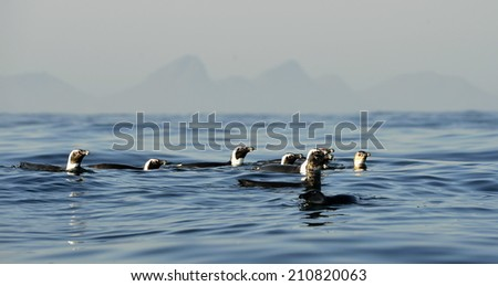 Swimming penguins. The African penguin (Spheniscus demersus), also known as the jackass penguin and black-footed penguin is a species of penguin, confined to southern African waters.  - stock photo