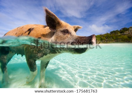 Swimming pig in a water at beach on Exuma Bahamas - stock photo