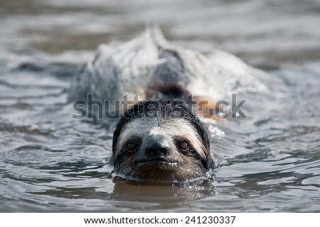 Swimming sloth - stock photo