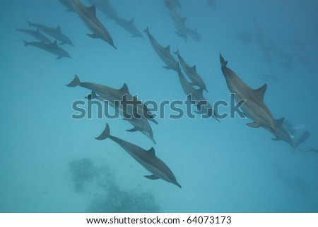 Swimming Spinner dolphins (Stenella longirostris). Sataya, Southern Red Sea, Egypt. - stock photo