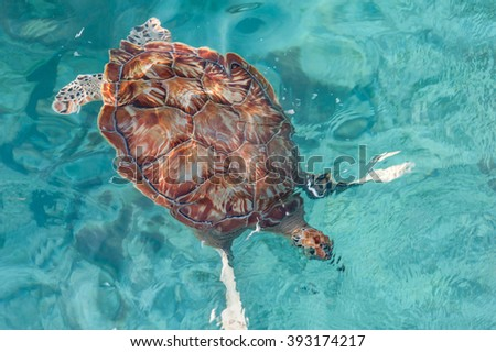 Swimming Turtle in Water. Miami Beach in Barbados - stock photo