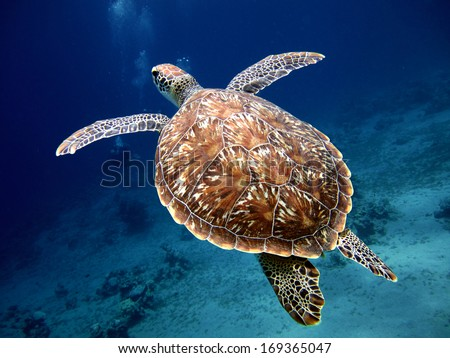 Swimming Turtle with Beautiful Shell - stock photo