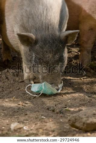 swine and gauze bandage - stock photo