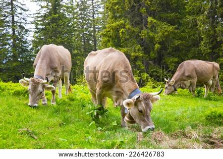 Swiss  Brown milk cows in a pasture in the alp forest, Switzerland Interlaken - Lauterbrunnen Selective Focus - stock photo