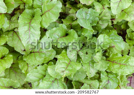 Swiss Chard  - stock photo